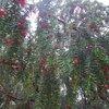 Тис ягодный. Растет в центре Ялты. В этом году особенно ягодный :)))